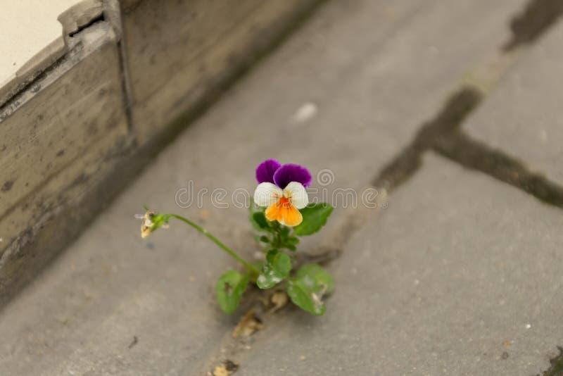 Het mooie purpere witte en gele viooltje groeide tussen het asfalt en de concrete muur stock fotografie