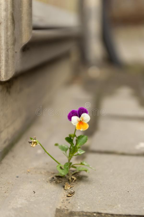 Het mooie purpere witte en gele viooltje groeide tussen het asfalt en de concrete muur royalty-vrije stock afbeelding