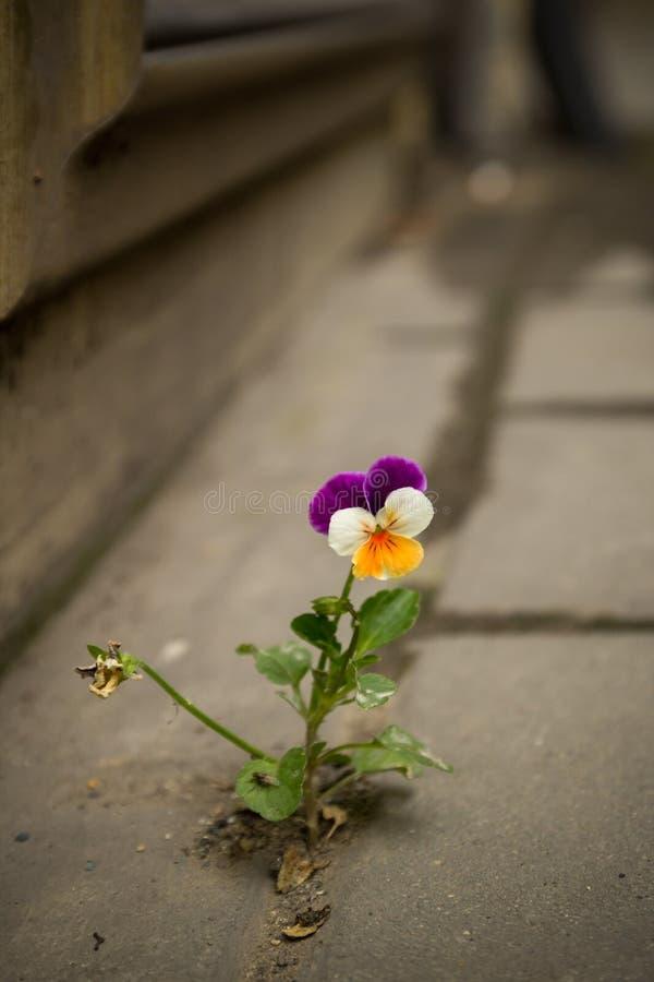 Het mooie purpere witte en gele viooltje groeide tussen het asfalt en de concrete muur royalty-vrije stock foto