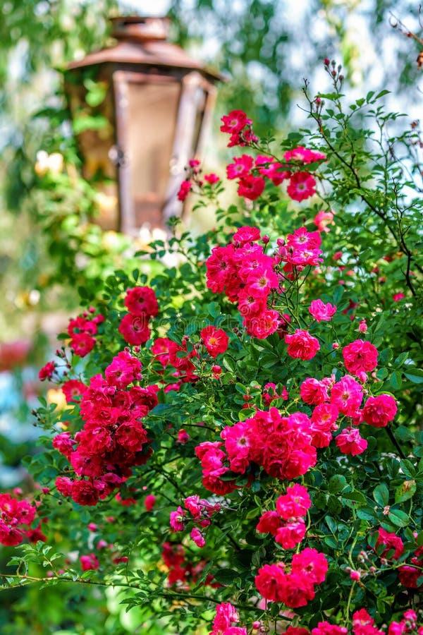 Het mooie rode bloeien nam bloemstruik en straatlantaarn op natuurlijke de zomer rustieke achtergrond toe stock afbeeldingen
