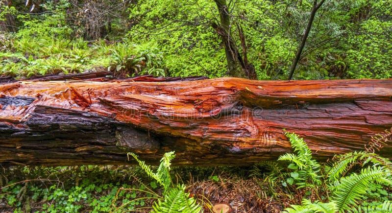 Het mooie rode hout van Westelijk Rood Cedar Tree stock foto
