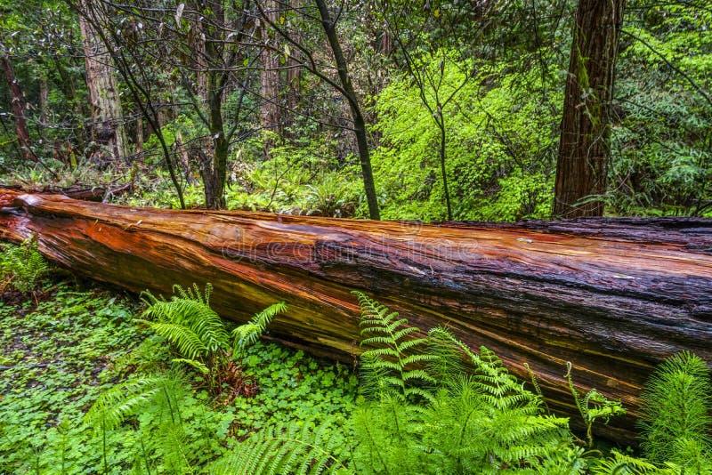 Het mooie rode hout van Westelijk Rood Cedar Tree stock afbeelding