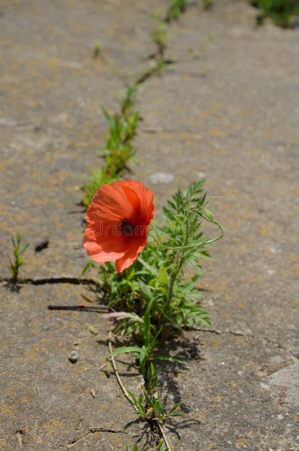 Het mooie rode papaver groeien door het beton Concept macht Verticale foto royalty-vrije stock afbeeldingen