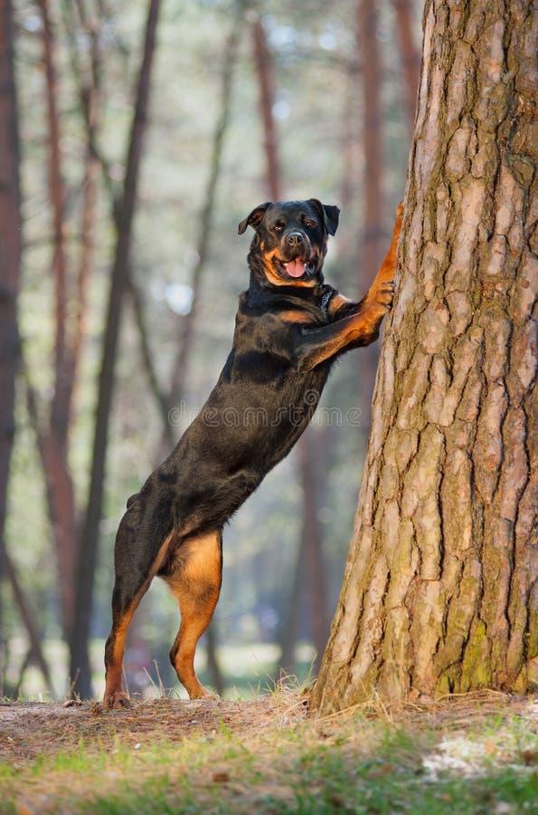 Het mooie Rottweiler-hondras die zich op zijn achterste benen bevinden, zette zijn voorpoten op een boom stock afbeeldingen