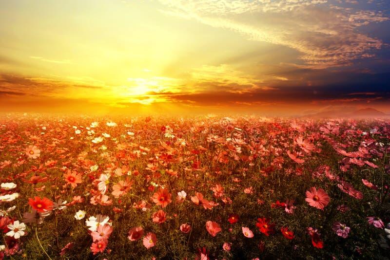 het mooie roze en rode gebied van de kosmosbloem met zonsondergang stock afbeeldingen