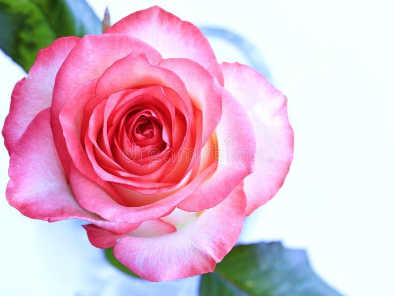 Het mooie scharlaken bloeien nam op een blauwe achtergrond toe stock afbeelding