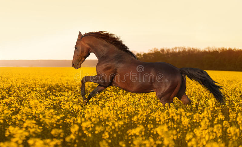 Het mooie sterke paard galopperen, die op een gebied van gele bloemen van verkrachting tegen de zonsondergang springen stock afbeeldingen