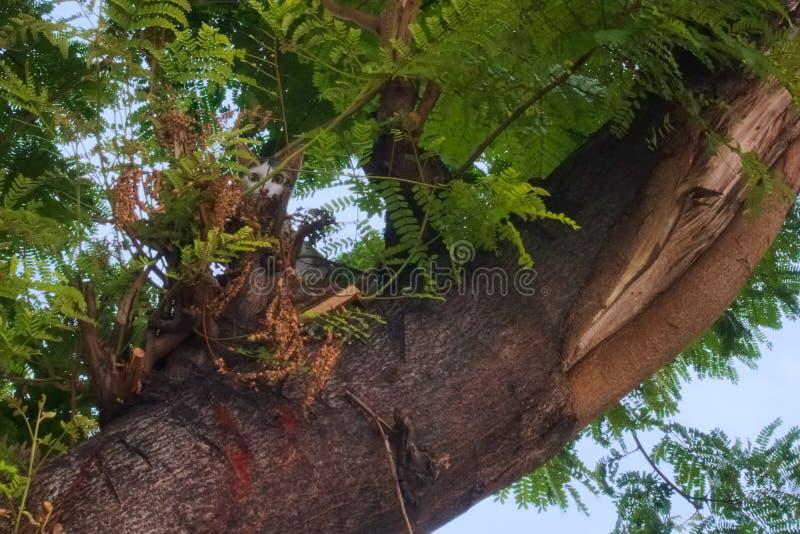 Het mooie, verdwaalde, dakloze zwart-witte kat verbergen in de takken, omhoog in een Thaise parkboom stock afbeeldingen