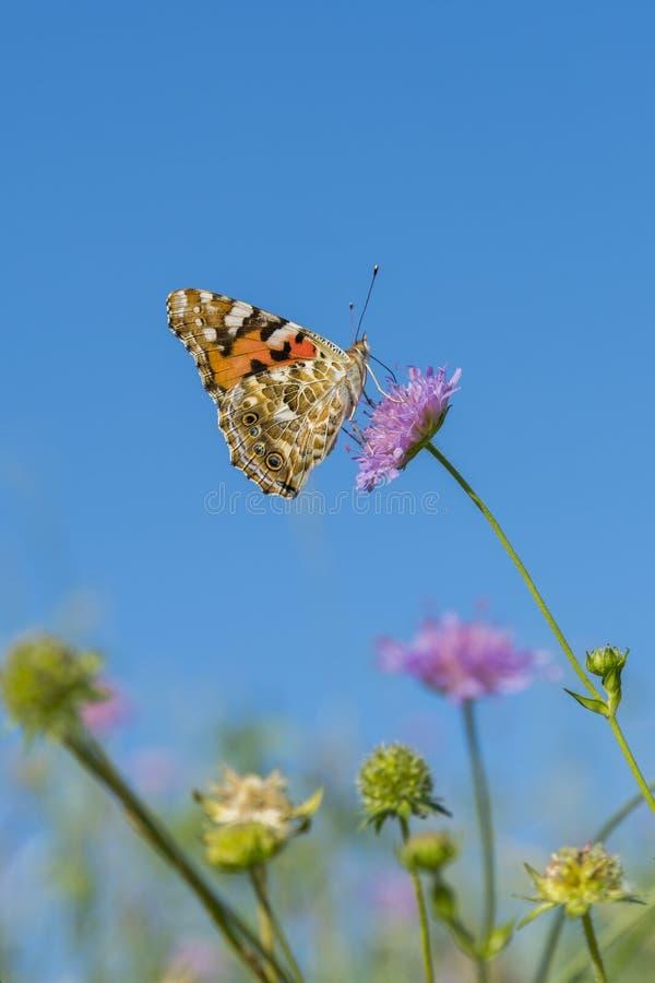 Het mooie vlinder voeden op een heldere roze bloemclose-up Macrovlinder tegen blauwe hemel Vlinder op een de lentebloem onder stock afbeeldingen