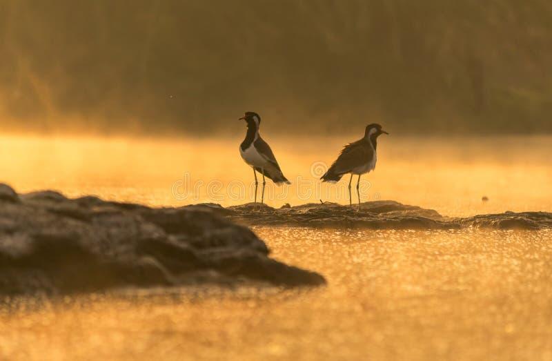 Het mooie vogelrood wattled kievitzitting op rots in gouden licht stock afbeeldingen