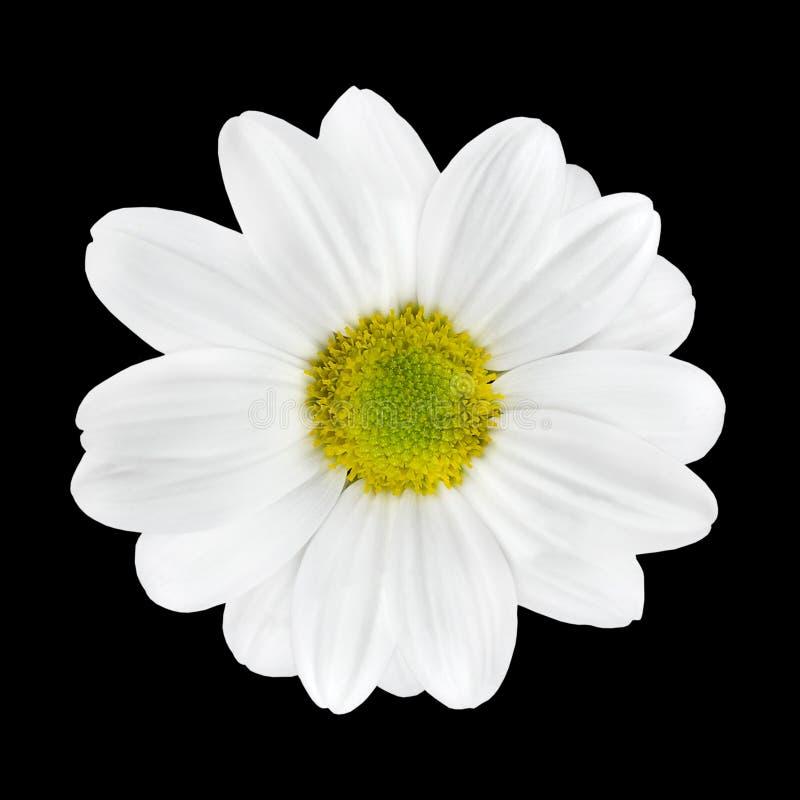 Het mooie Witte Geïsoleerdes Hoofd van de Bloem van de Dahlia royalty-vrije stock foto