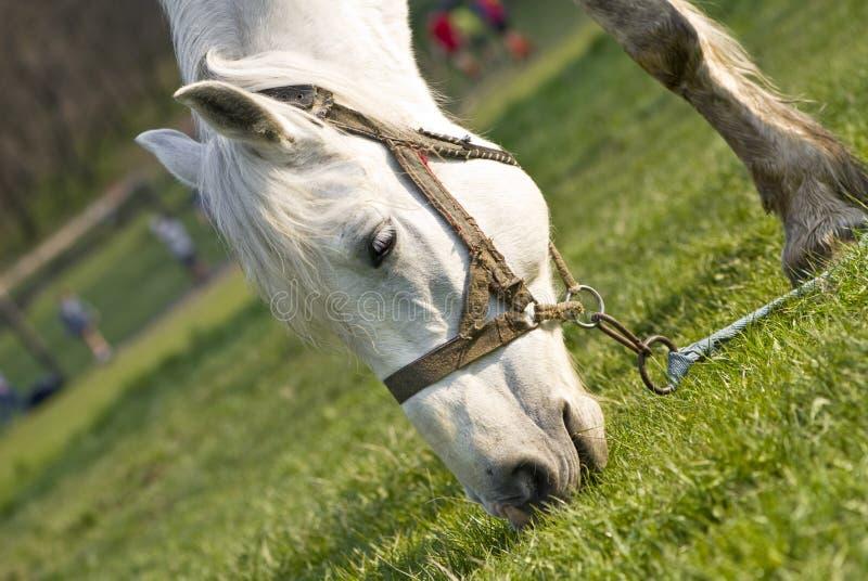 Het mooie witte paard stock afbeelding