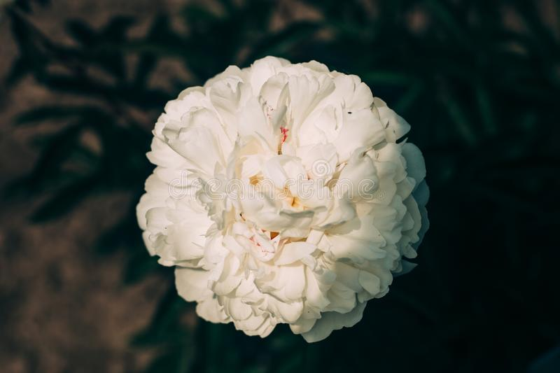 Het mooie witte pioenbloem dichte groeien in de tuin Langzaam verdwenen kleuren stock fotografie