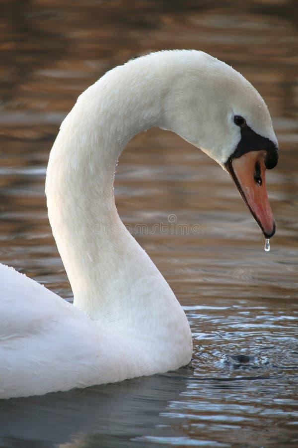 Het Mooie Witte Zwaan Eten royalty-vrije stock foto