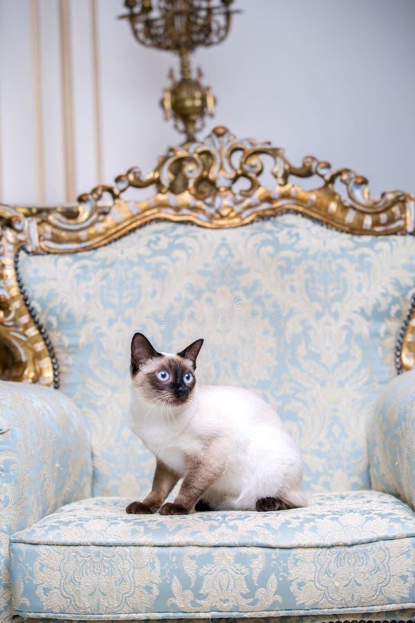 Het mooie zeldzame ras van kat van het de Bobtail de vrouwelijke huisdier van kattenmekongsky zonder staart zit binnenland van Eu royalty-vrije stock fotografie