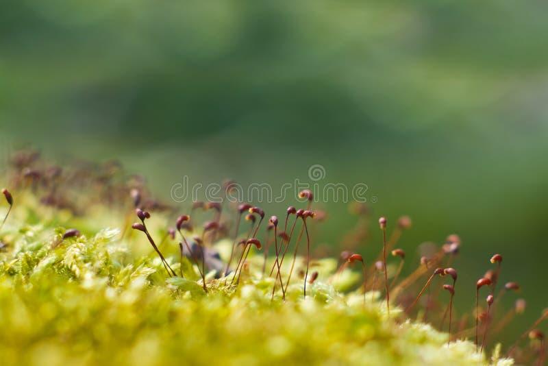 Het mos sporophytes behandelt in de de lentezon, natuurlijke achtergrondtextuur, ondiepe velddiepte royalty-vrije stock afbeeldingen