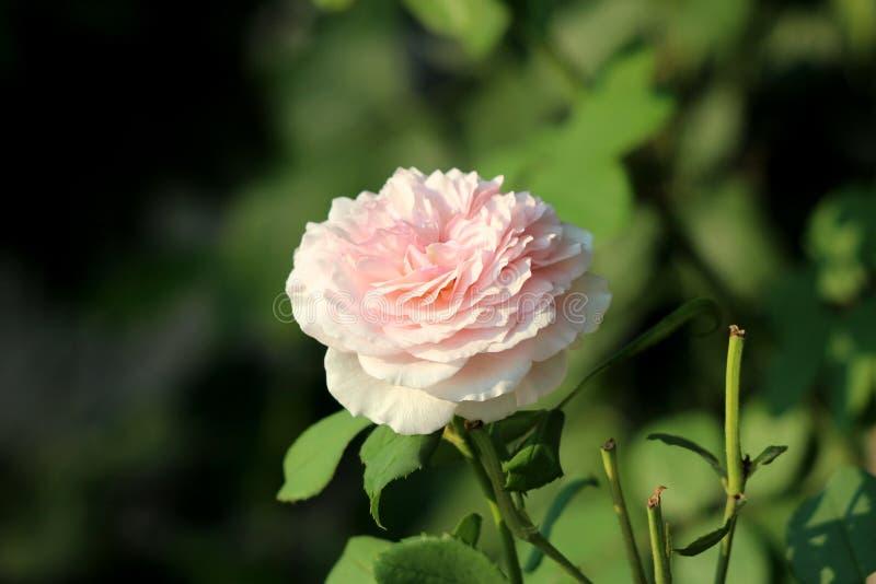 Het multi gelaagde heldere wit aan lichtrose nam groeiend op warme de zomerdag in lokale die tuin met pointy groene bladeren word royalty-vrije stock fotografie