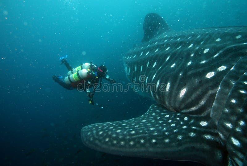 Het naderbij komen van de scuba-duiker walvishaai in de Galapagos i stock afbeelding