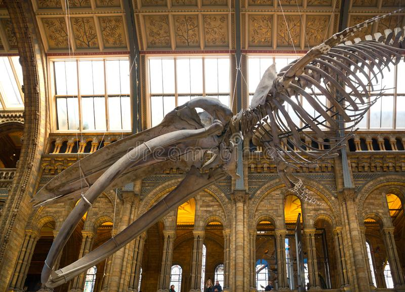Het Nationale Historische Museum van Londen Engeland Weergeven van een walvisskelet in de belangrijkste zaal royalty-vrije stock afbeelding