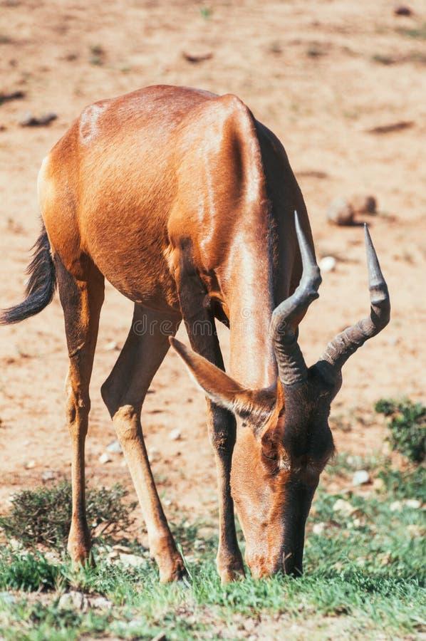 Het nationale park van de Addoolifant, oostelijke kaap, Zuid-Afrika stock afbeelding
