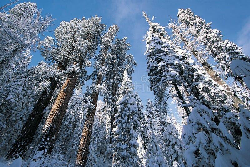 Het Nationale Park van de sequoia stock afbeeldingen