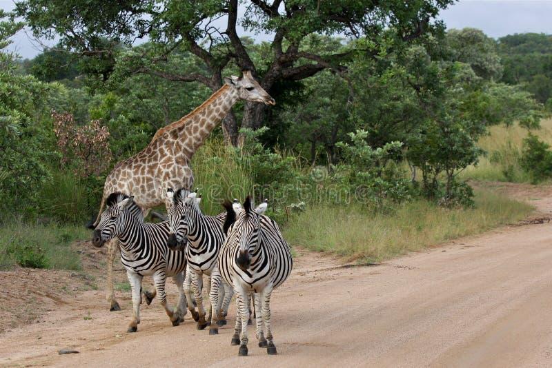 Het Nationale Park van Zebras & van Kruger van Giraffen, Afrika royalty-vrije stock foto's