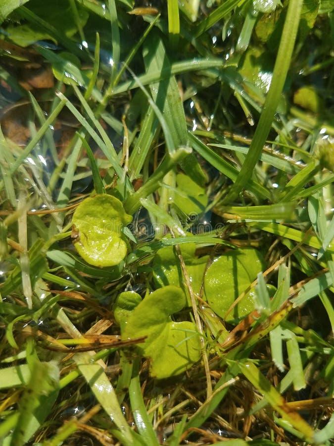Het natte gras en het lilly-Stootkussen vormden bladeren die in de zon sparkiling royalty-vrije stock afbeelding