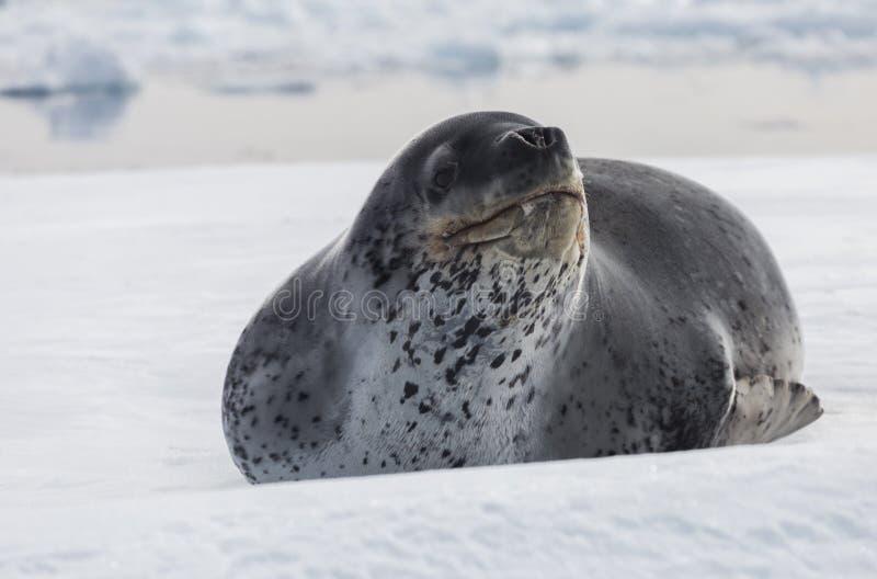 Het natuurlijke roofdier van Antarctica is luipaardverbinding Ontspan dier liggend op het ijs stock fotografie