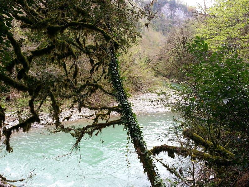 Het Natuurreservaat van de Kaukasus, relictbos, taxusbosje stock afbeelding