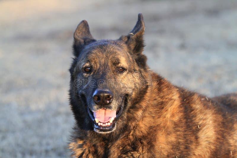 Het Nederlandse glimlachen van HerdersDog stock fotografie