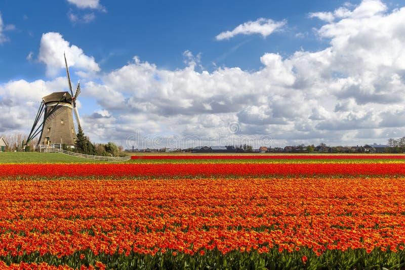 Het Nederlandse Landschap van de Windmolen van Tulpen stock afbeeldingen