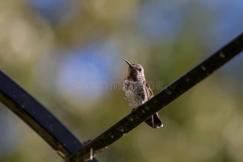 Het neerstrijken Anna ` s Kolibrie royalty-vrije stock foto's