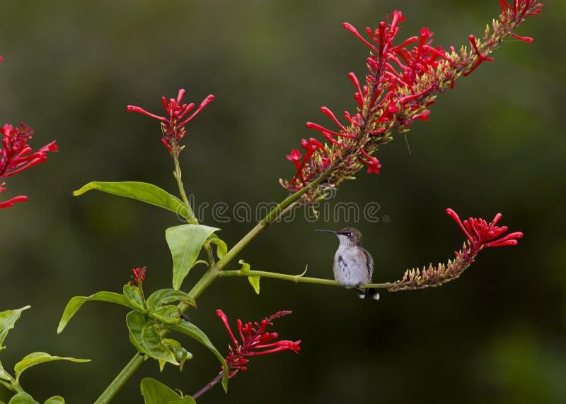 Het neerstrijken kolibrie royalty-vrije stock afbeelding