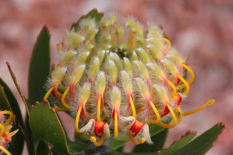 Het neigen van Speldenkussen Protea Leucospermum Cordifoliu royalty-vrije stock afbeeldingen