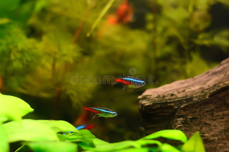 De neon tetravissen royalty-vrije stock afbeelding