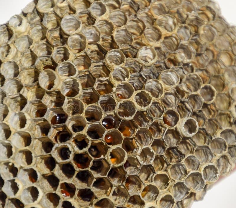 Het nest is esp, polist het espnest aan het eind van het het fokkenseizoen Voorraden van honing in honingraten Esphoning Vespa royalty-vrije stock foto