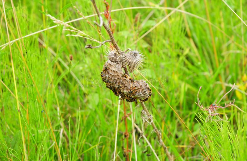 Het nest is esp, polist op het weidegras De wespen nestelen aan het eind van het het fokkenseizoen Voorraden van honing in honing royalty-vrije stock afbeelding