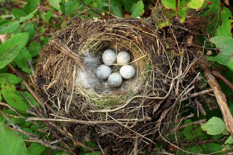 Het nest van de vogel met eieren stock afbeelding