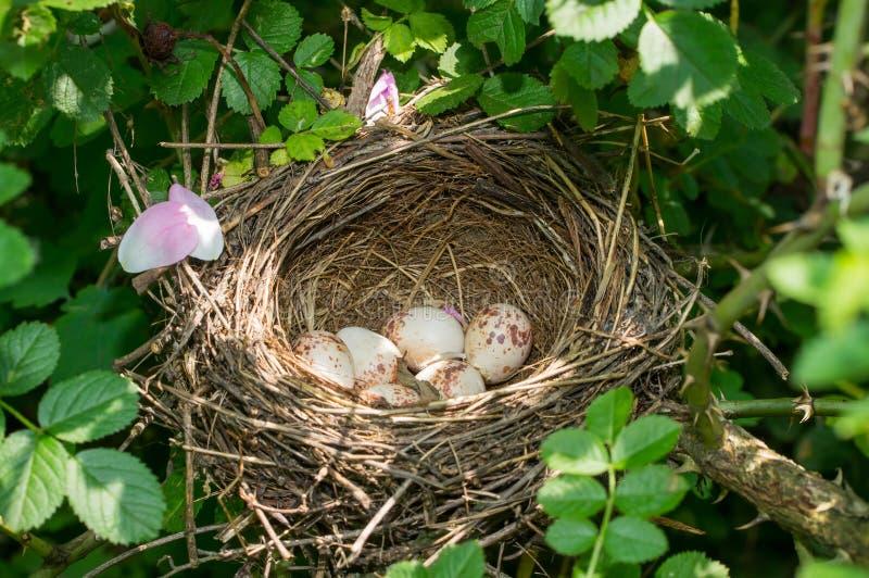 Het Nest van de vogel met Eieren royalty-vrije stock afbeelding
