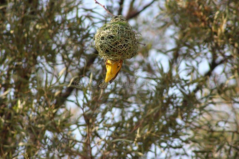Het nest van een vogel in Namibië wordt gevangen dat stock afbeelding