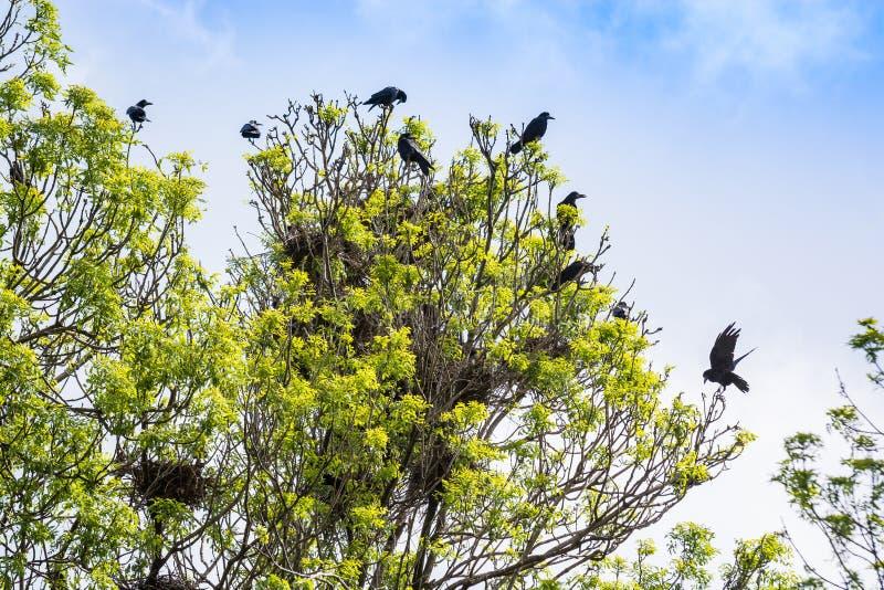 Het nest van menigtekraaien op boom in Servië stock afbeeldingen
