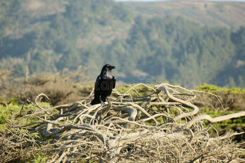 Het Nest van raven royalty-vrije stock fotografie