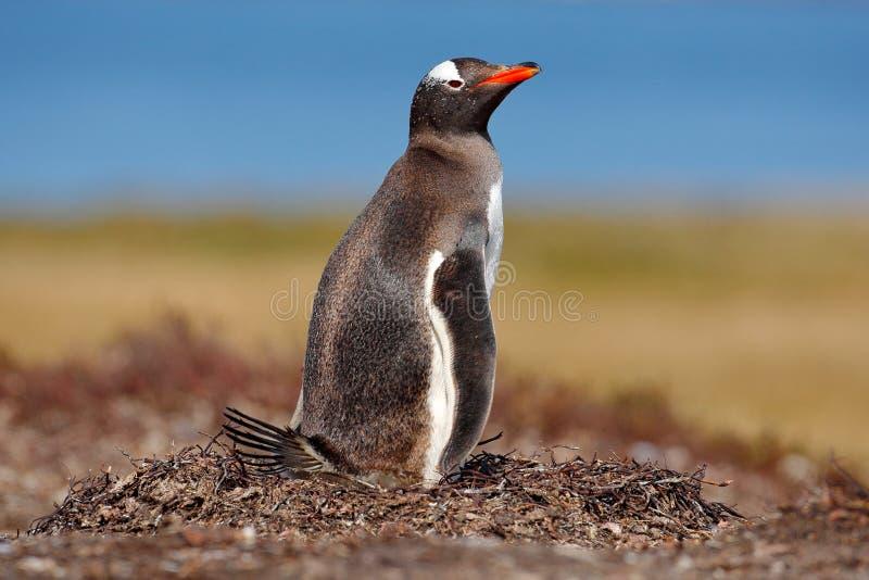 Het nestelen pinguïn op de weide Gentoopinguïn in nestverstand twee eieren, Falkland Islands Dierlijk gedrag, vogel in het nest m stock afbeeldingen