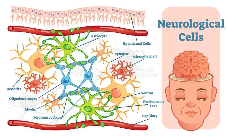 Het neurologische diagram van de cellen vectorillustratie Onderwijs medische informatie royalty-vrije illustratie