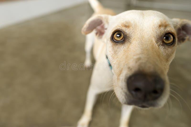 Het nieuwsgierige hond kijken stock afbeelding