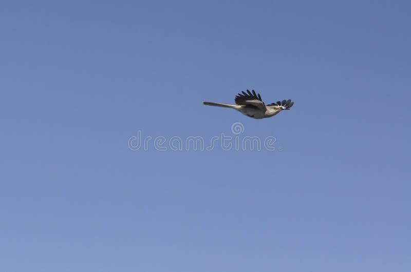 Het noordelijke Spotlijstervangst lichte vliegen stock afbeeldingen