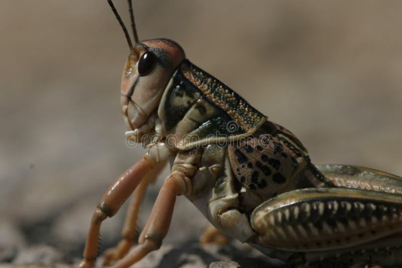 Het noorden Texas Grasshopper royalty-vrije stock afbeeldingen
