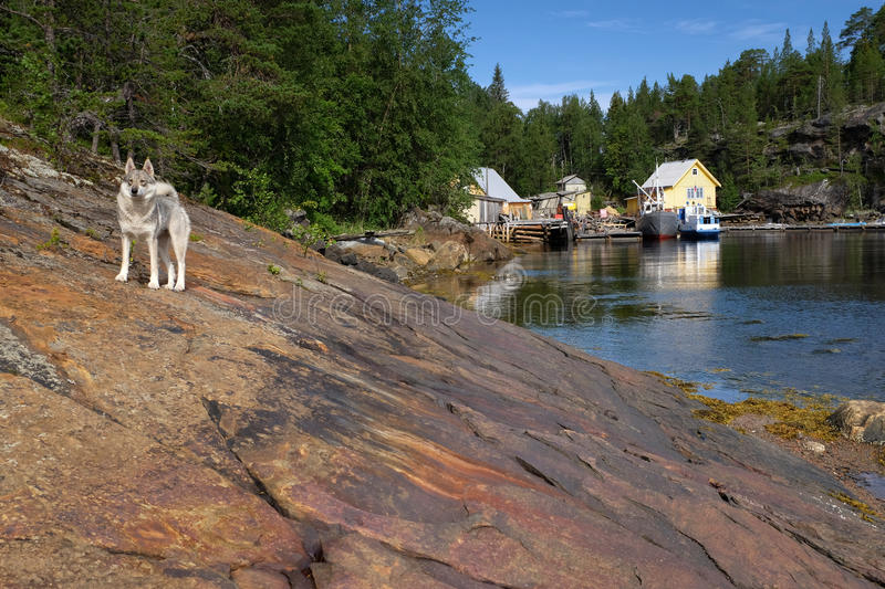 Het noorden van Rusland, Kust van Witte Overzees Rocky Bay Fjord And White Siberisch Husky Against Background Of Rocks, Overzeese stock foto's