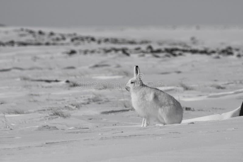 Het noordpool arcticus worden van hazenlepus klaar te springen terwijl het zitten op sneeuw en het afwerpen van zijn de winterlaa stock fotografie