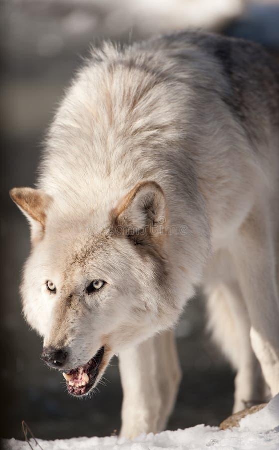 Het noordpool Snauwen van de Wolf royalty-vrije stock afbeeldingen